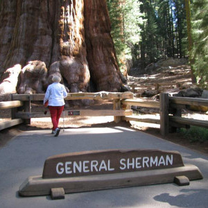 Sequoia gigante,das maiores do mundo-General Sherman